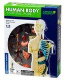 Het Menselijk Lichaam Model_