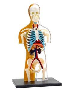 Het Menselijk Lichaam Model (Tweedekans)